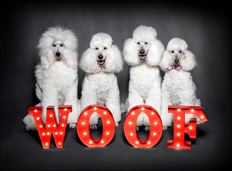 Dog Portrait Standard Poodles 04.jpg