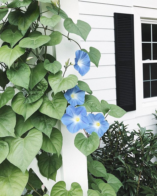 Took all summer to grow, but our morning glories are finally blooming 👩🏻🌾