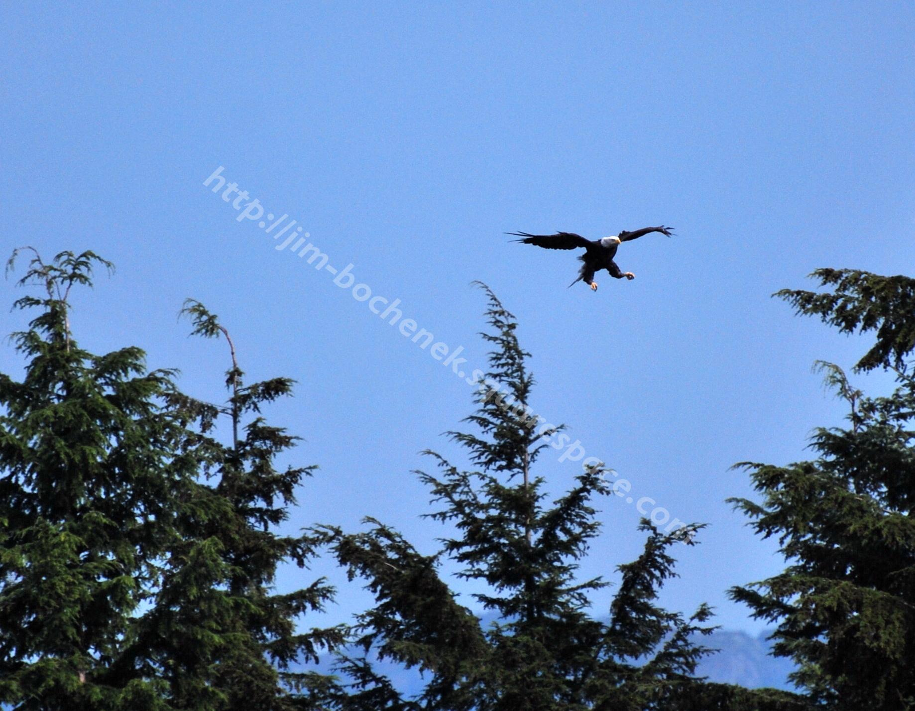 Bald Eagle edited for printing2.jpg