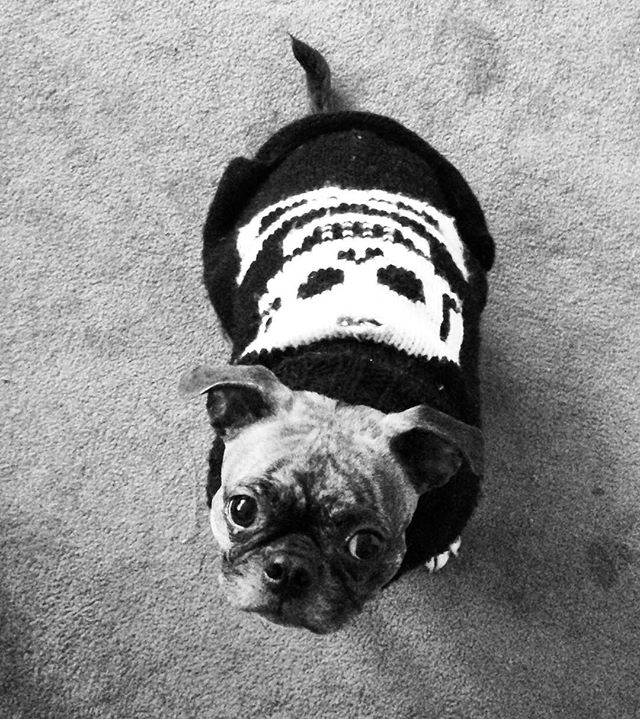 Cold weather is not an excuse for a gal to lack on her wardrobe! You strut your stuff Ms.Indie! 🐶💀👻💃🏻#northernliberties #philly #badtothebone #welovedogs #instacute #pugslife #dogwalking #dogwalkerslife #petsitting #philadelphia #dogsofinstagram #bugeyes