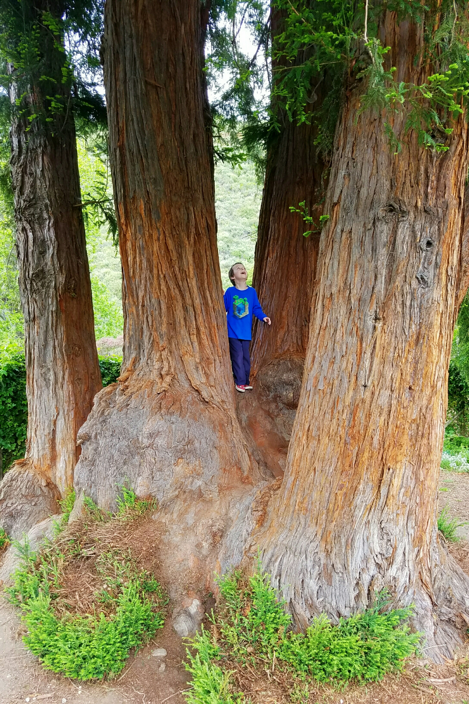 Redwood majesty at the Earthbound Farmstand in Carmel Valley, California.
