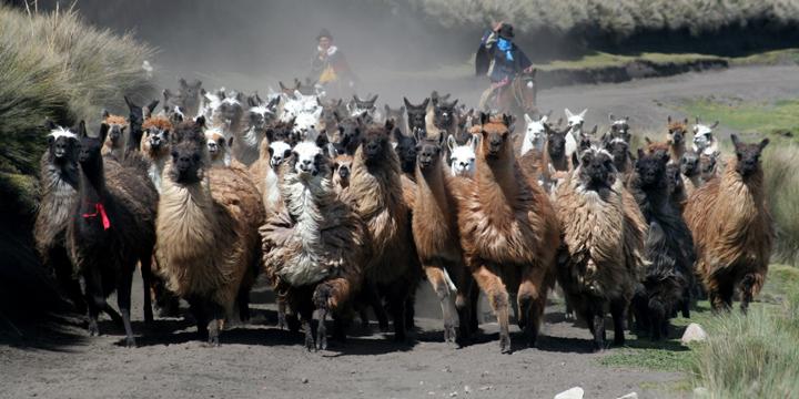 Llamas-Ecuador.jpg