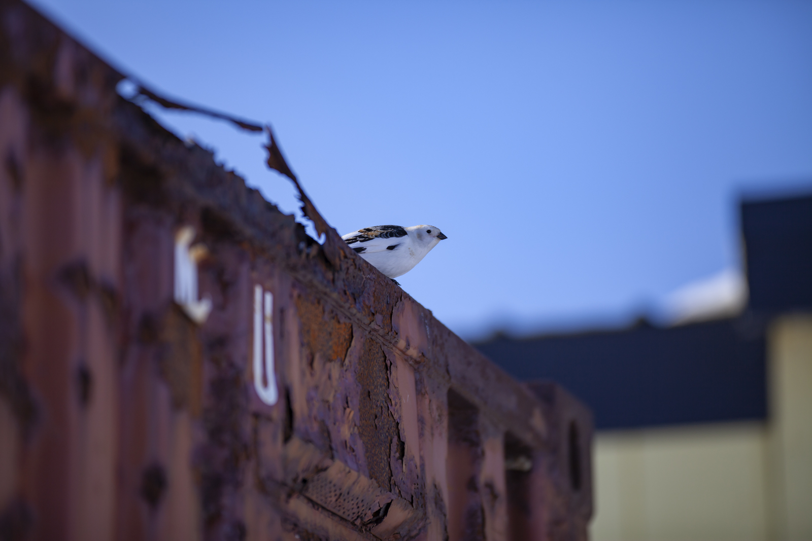 A snow bunting perches on a shipping container in Kaktovik