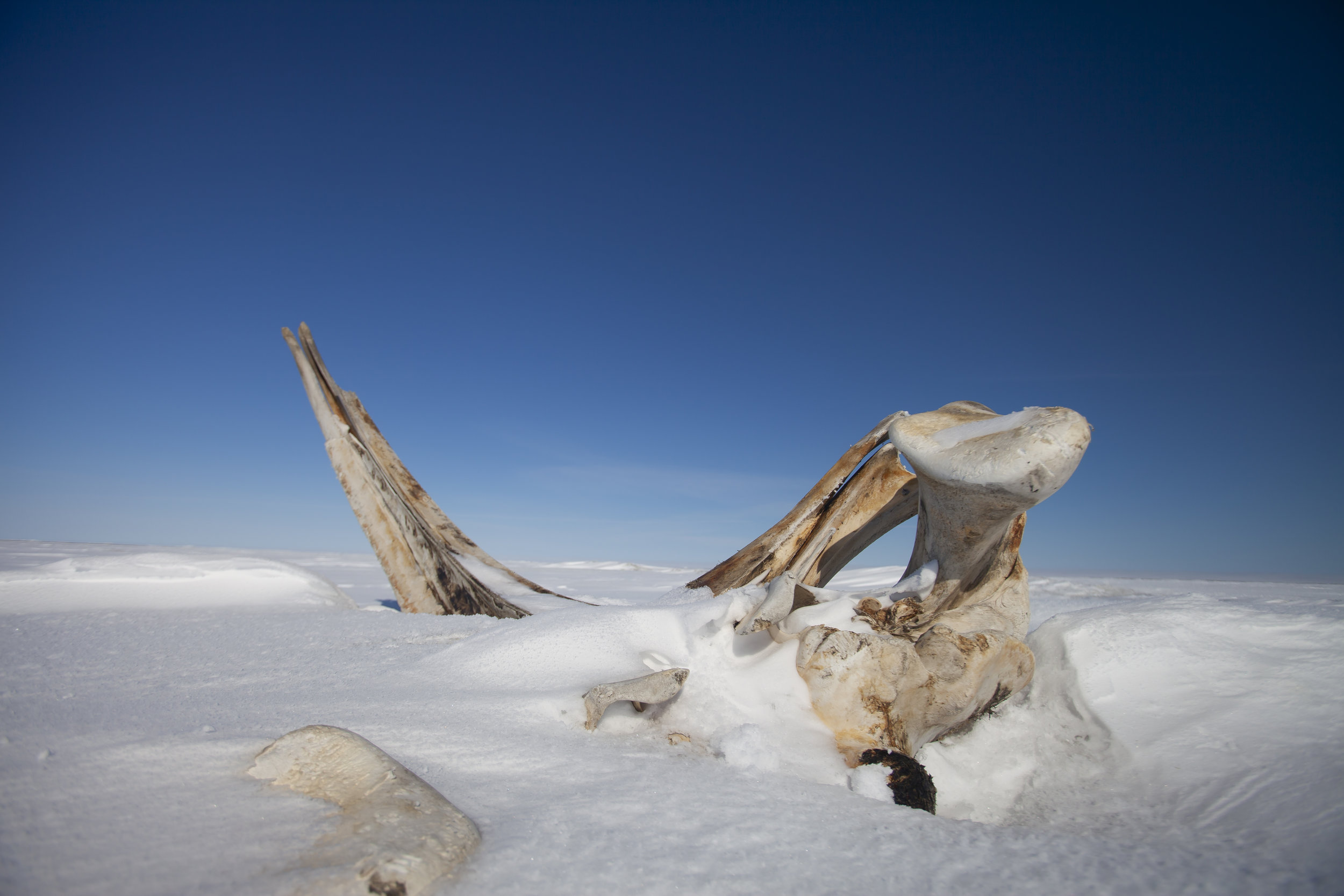 Jaw bones from a Bowhead Whale on the coast of the Beaufort Sea.