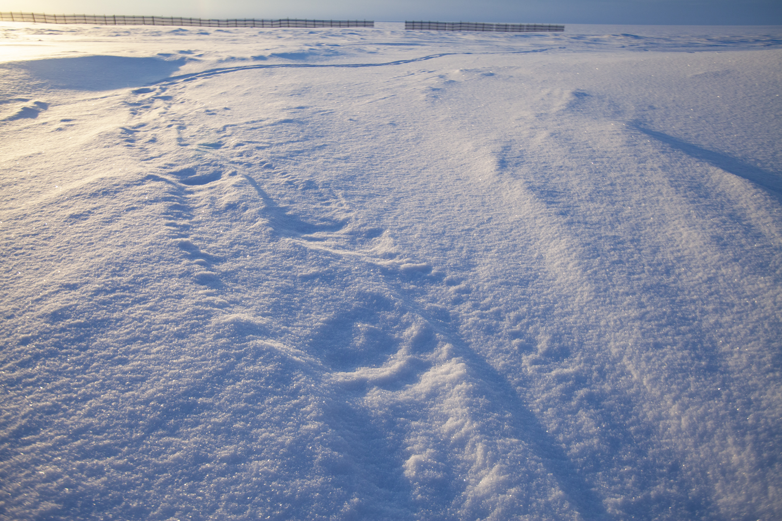 Polar bear tracks in the snow near Kaktovik, Alaska.