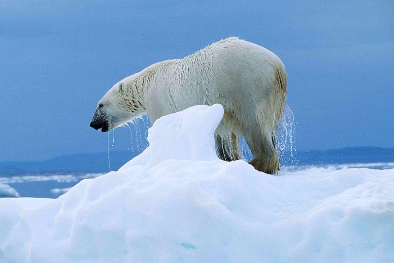 PolarBear-Ukkusiksalik NP-Nunavit.jpg