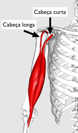 biceps01