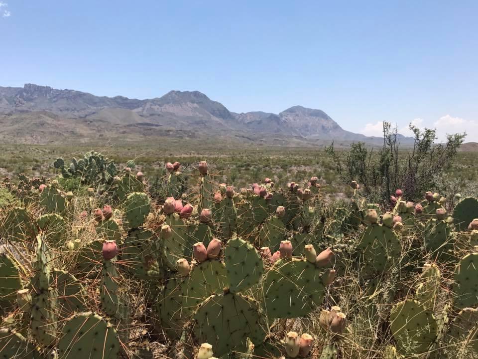 cacti flowers by bentley post