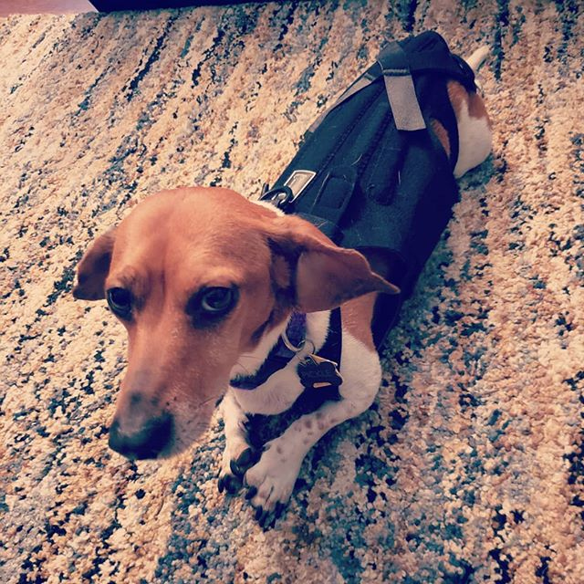 It's official. Pickle hates the back brace @katievenegas and I bought for him. His face says is all. Who knew a little male dachshund could have resting bitch face?🤷♂️🤣