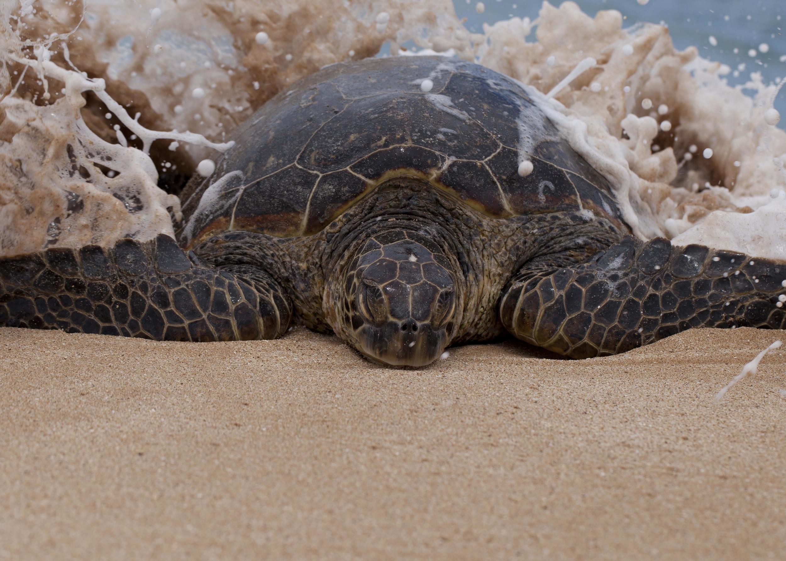 (2)Sea Turtle at Papuhaku Beach