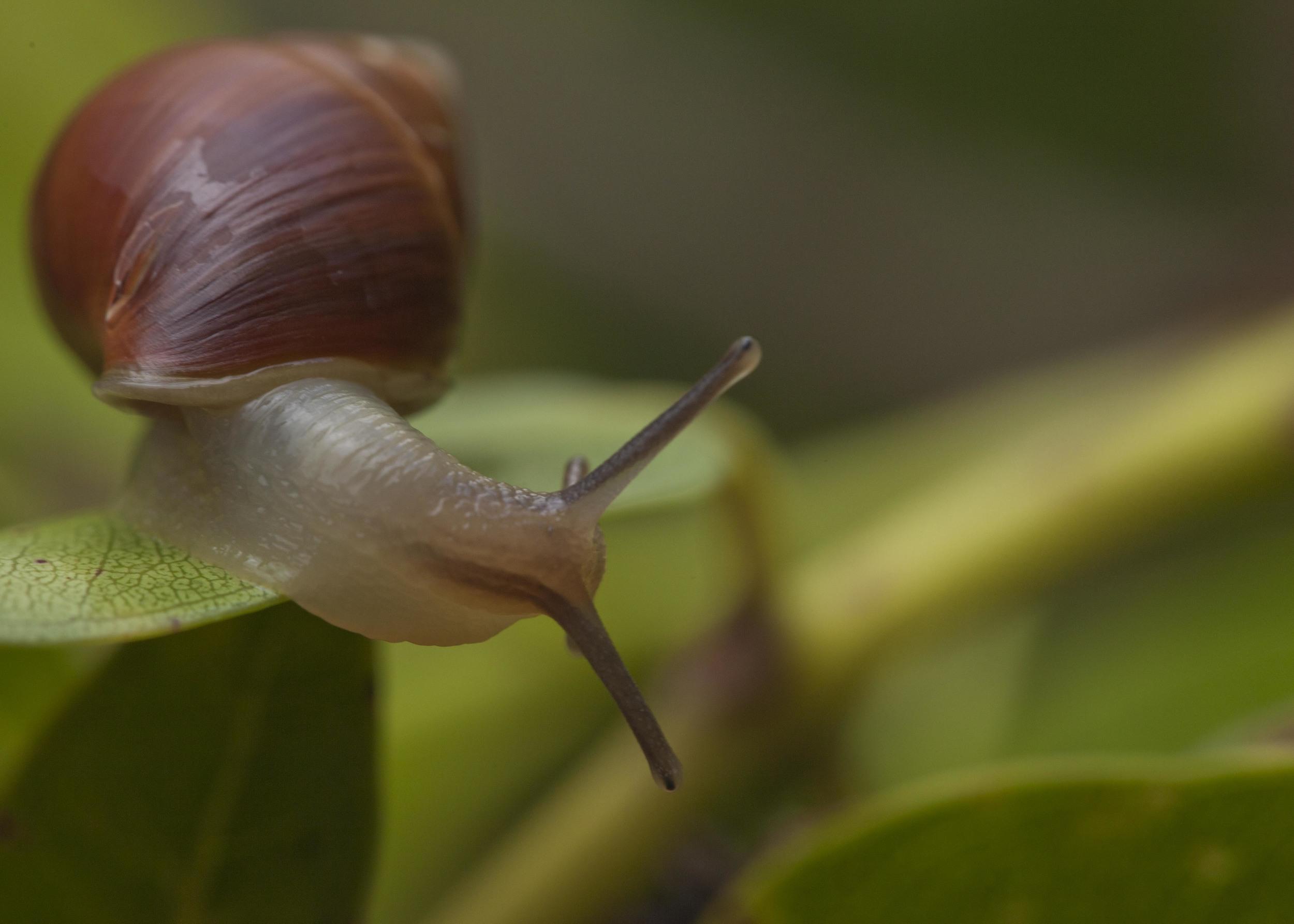 Molokai Tree Snail.jpg