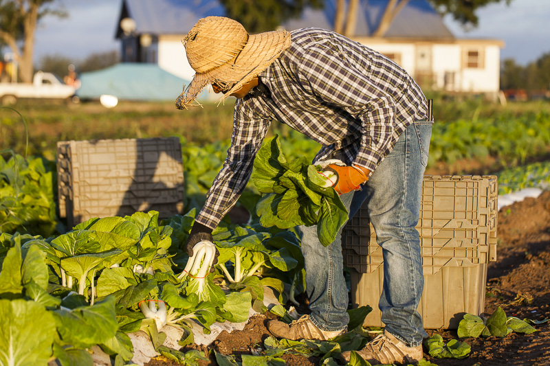 A worker gathers just harvested Bok Choi at Johnson's Backyard Garden in Austin, TX.