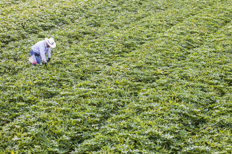 A worker harvests in a huge feild of sweet potato greens at Johnson's Backyard Garden in Austin, TX.