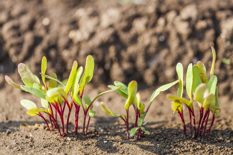 Small beet plants grow at at Johnson's Backyard Garden in Austin, TX.