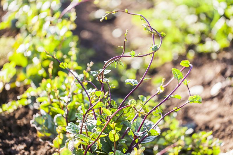 Malabar Spinach grows at Johnson's Backyard Garden in Austin, TX.
