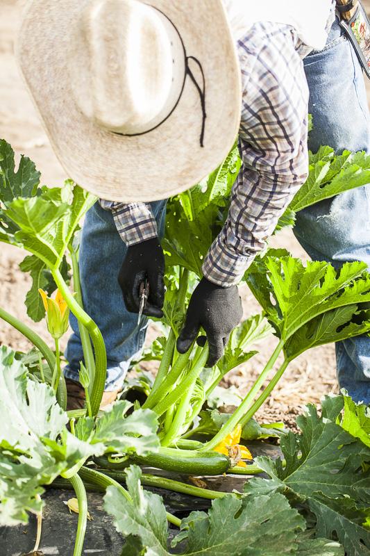 Zucchini being harvested at Johnson's Backyard Garden in Austin, TX.