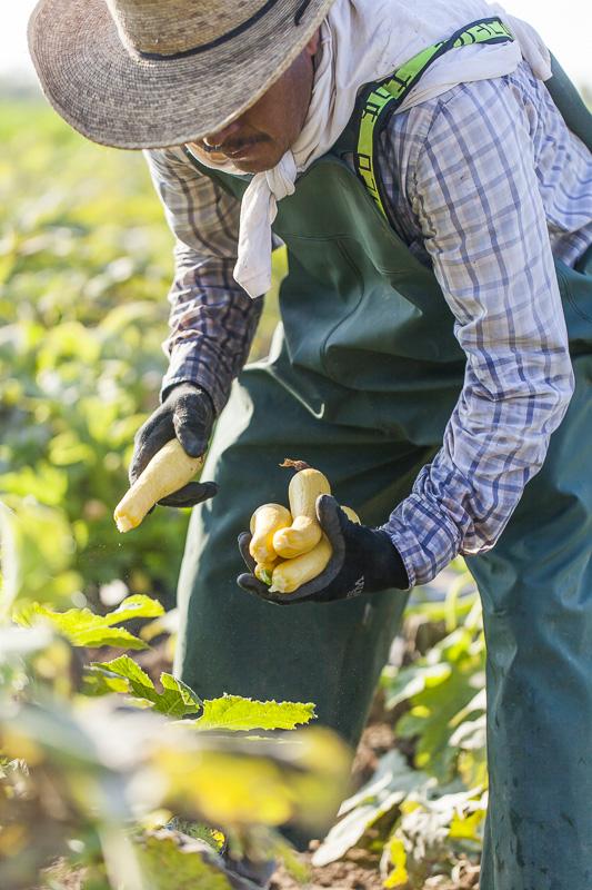 Yellow summer squash being harvested at Johnson's Backyard Garden in Austin, TX.