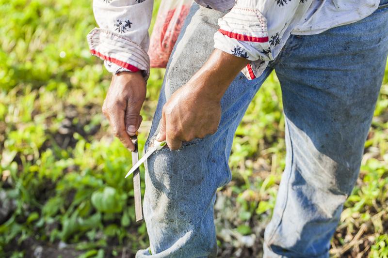 A worker sharpens his harvesting knife at Johnson's Backyard Garden in Austin, TX.