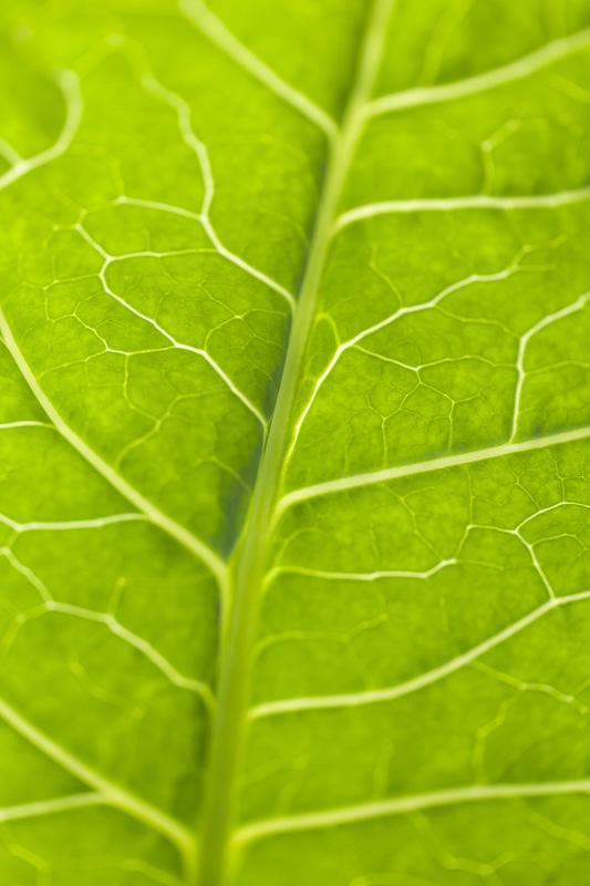Close up of a collard green at Johnson's Backyard Garden in Austin, TX.