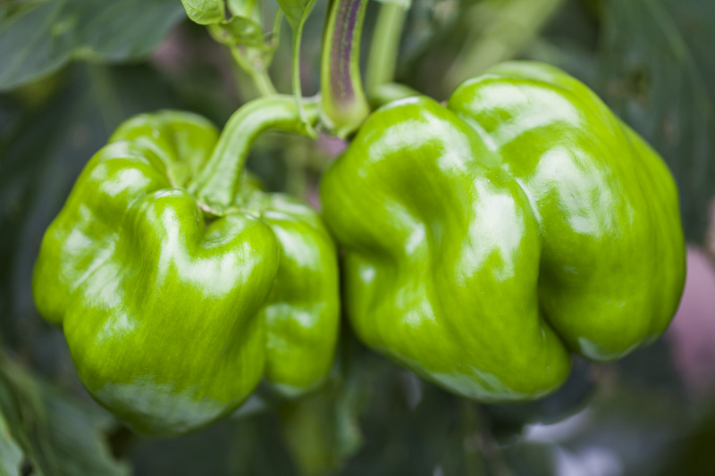 Close-up of two green bell peppers at Johnson's Backyard Garden in Austin, TX.