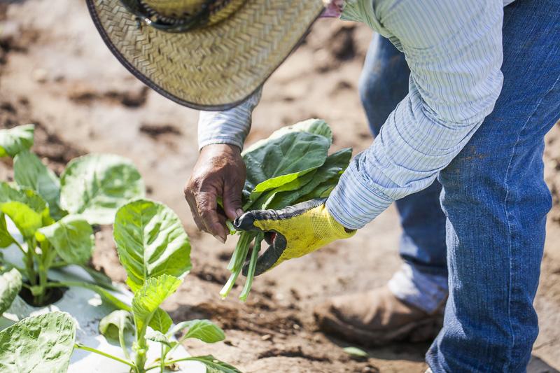 A worker harvests collard greens at Johnson's Backyard Garden in Austin, TX.