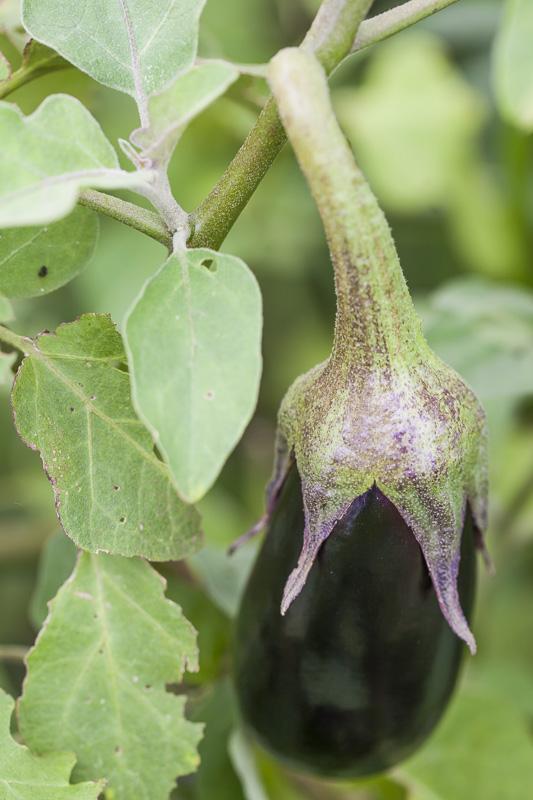 Close-up of a black beauty eggplant Arugula being harvested beside a field of okra at Johnson's Backyard Ga