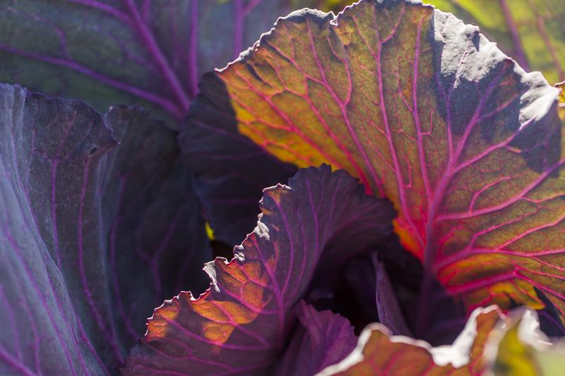 Close-up shot of Red Cabbage at Johnson's Backyrad Garden, Austin, TX.