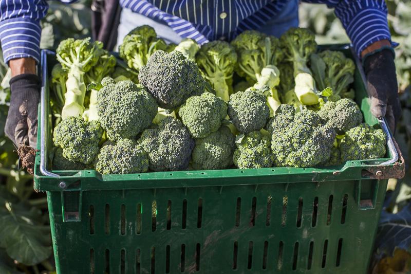 A bin full of freshly harvested Broccoli at Johnson's Backyrad Garden, Austin, TX.