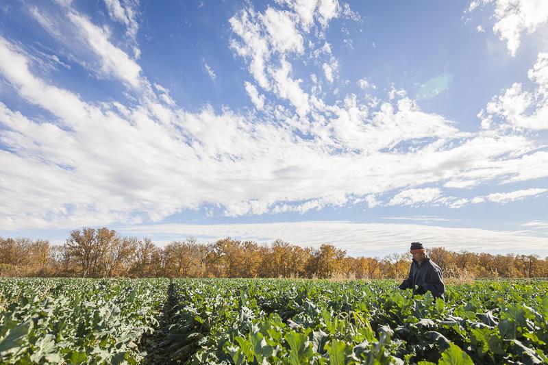 A man harvests Broccoli at Johnson's Backyrad Garden, Austin, TX.