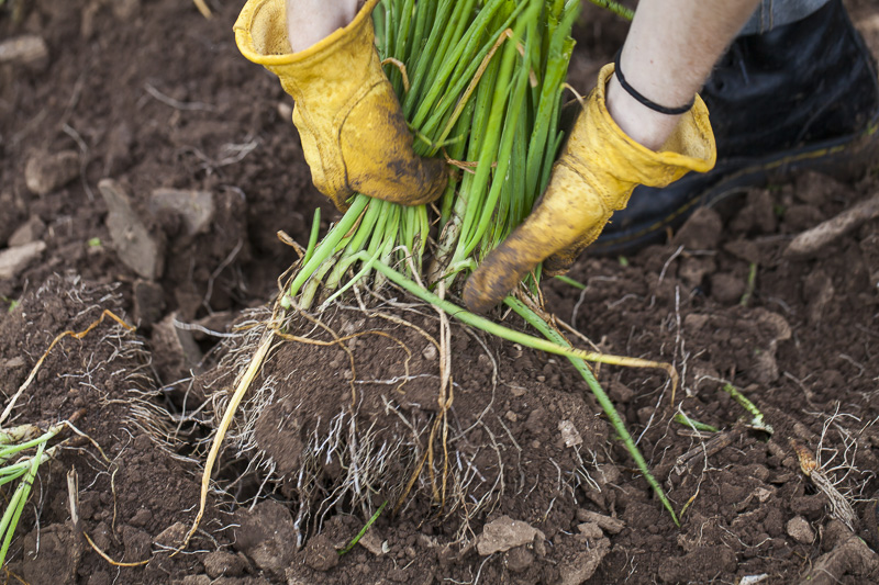 Scallions being pulled out of the soil at Johnson's Backyrad Garden, Austin, TX.
