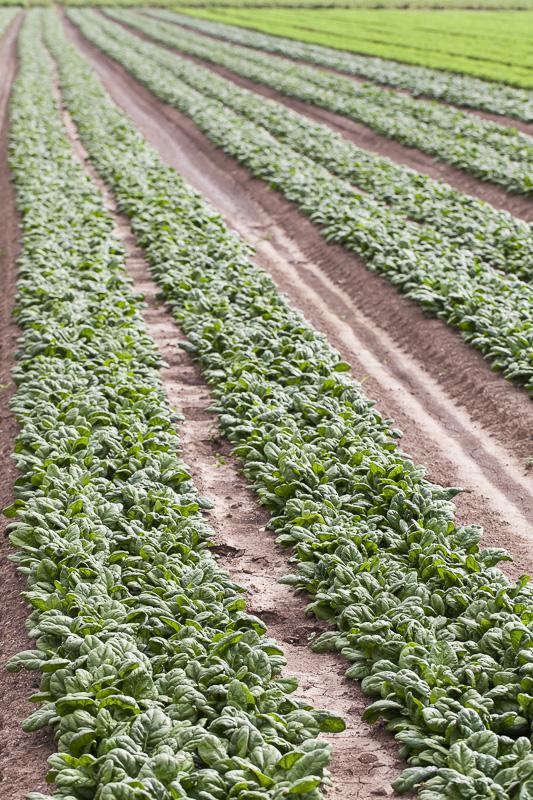 Long rows of mature spinach at Johnson's Backyrad Garden, Austin, TX.