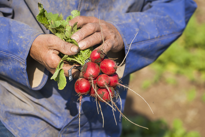 A worker holds a bunch of red radishes at Johnson's Backyrad Garden, Austin, TX.