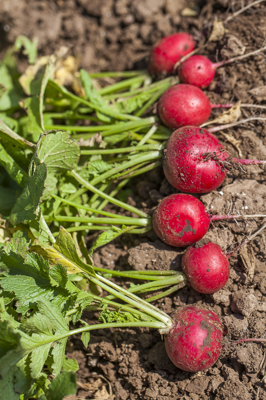 Seven just harvestd red radishes wait to be bunched at Johnson's Backyrad Garden, Austin, TX.