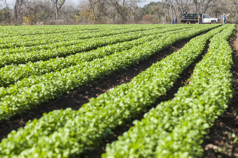Green rows of a crop converge in the distance at a truck and workers at Johnson's Backyard Garden, Austin, TX.