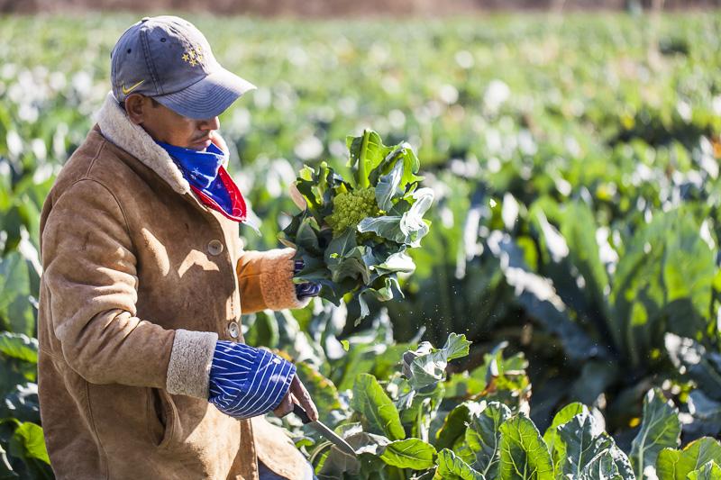 A worker examines a just harvested romanesque cauliflower at Johnson's Backyard Garden, Austin, TX.