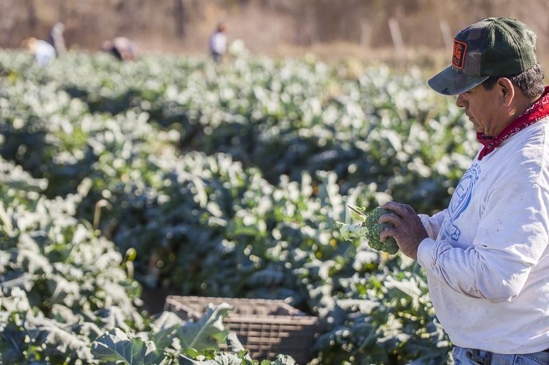 A workers at Johnson's Backyrad Garden harvest Broccoli.