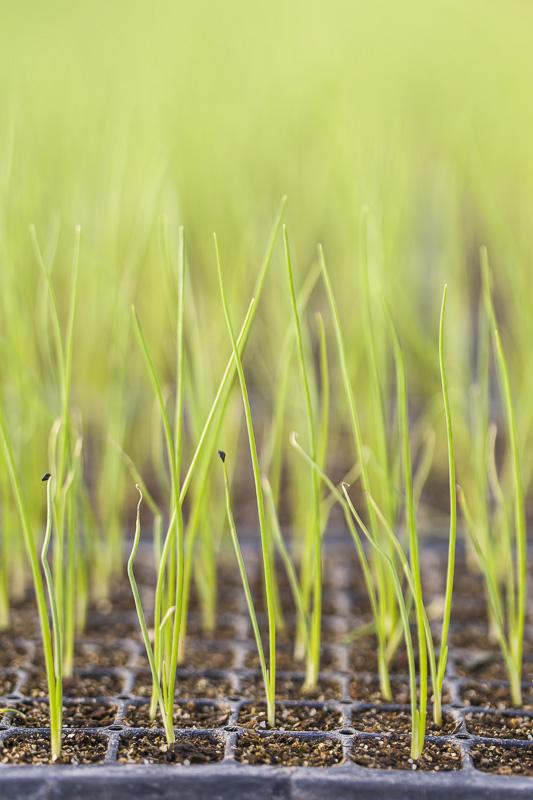 Onion transplants grow at Johnson's Backyrad Garden, Austin, TX.