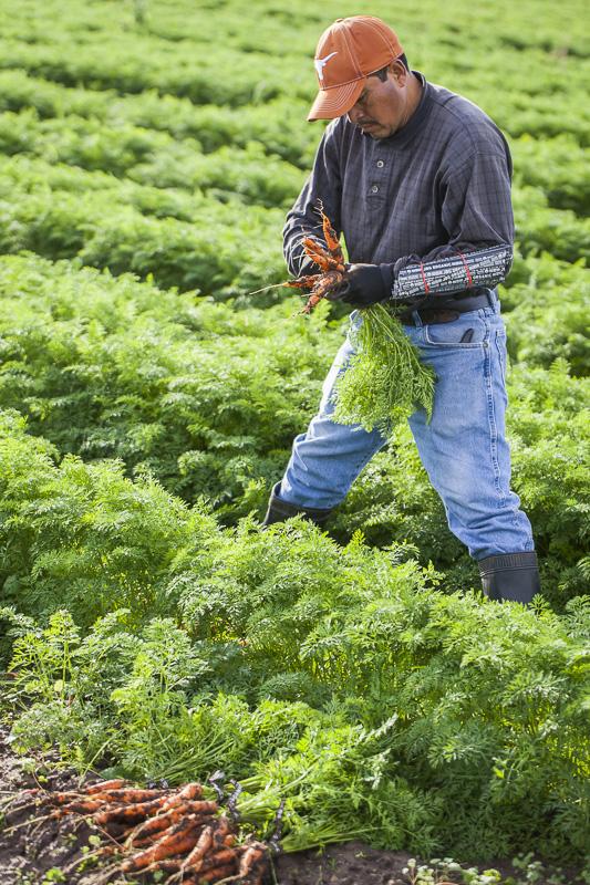 Harvesting carrots at Johnson's Backyard Garden, Austin, TX.