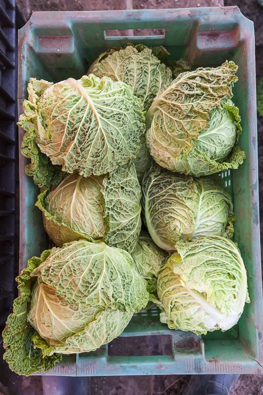 A bin of green cabbage at Johnson's Backyard Garden, Austin, TX.