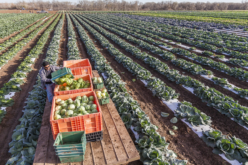 A field of green cabbage being harvested at Johnson's Backyard Garden, Austin, TX.
