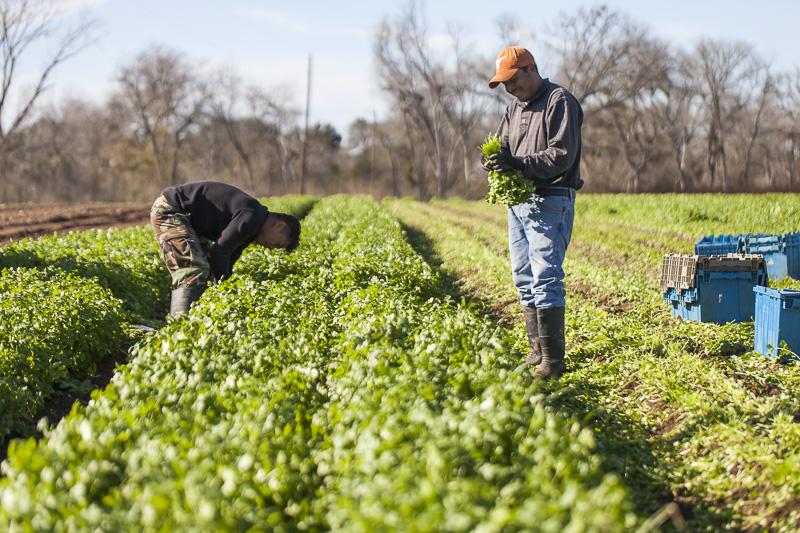 Harvesting cilantro in the suyn at Johnson's Backyard Garden, Austin, TX.