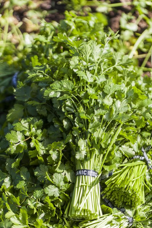 Close-up of a bunch of cilantro at Johnson's Backyard Garden, Austin, TX.