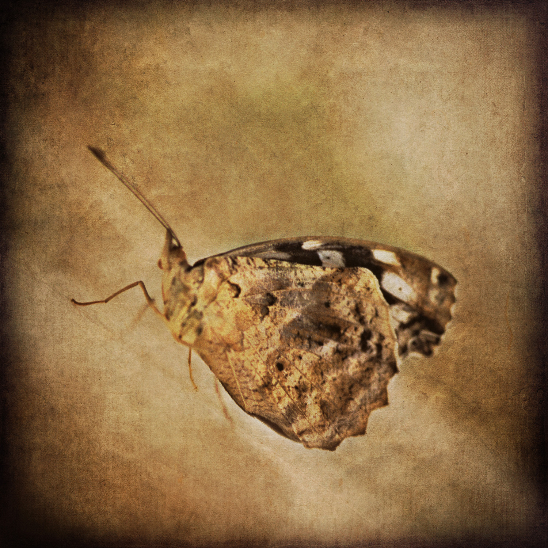 4butterfly_brown.jpg