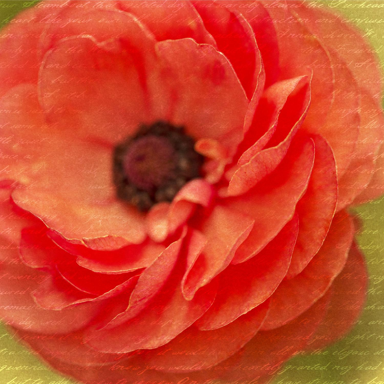 12Tecolote Ranunculus.jpg