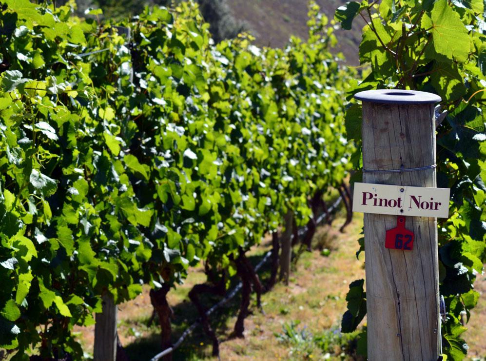 Burgundy Pinot Noir vine.jpg