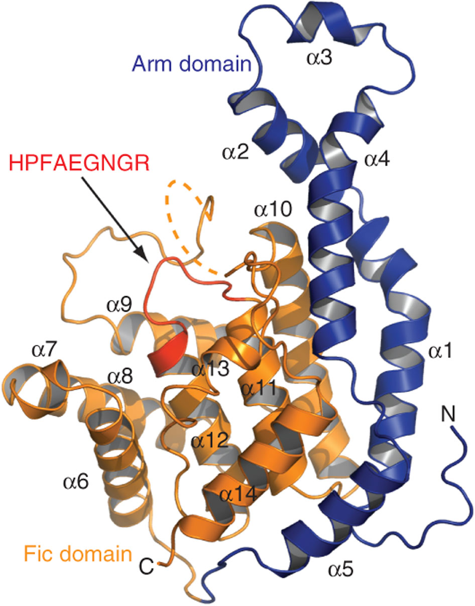 Ribbon representation of IbpAFic2 structure.    The N-terminal helical motif including the arm domain is colored in blue. The Fic domain is colored in orange. The HPFAEGNGR motif is highlighted in red. Secondary structural elements and the N- and C-termini of the structure are labeled. Part of the α9–α10 loop is disordered and shown as dash lines.