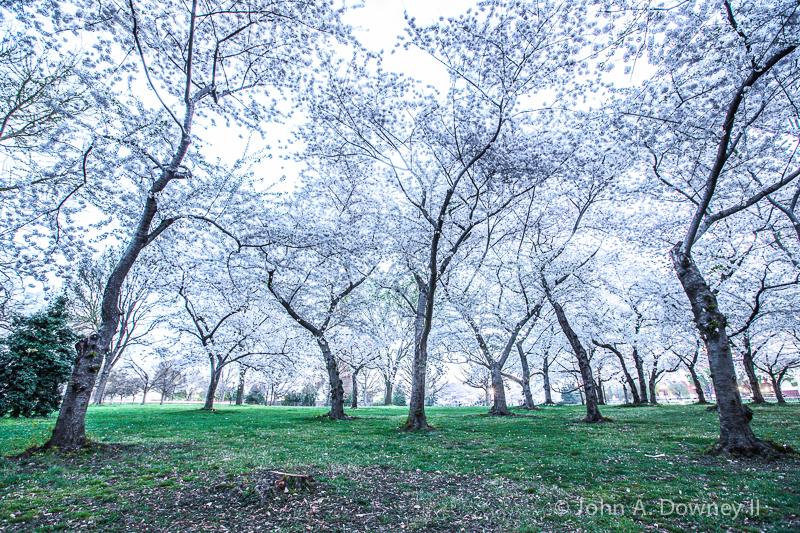 Cherry trees strain under peak blossoms. Washington DC, 2013.
