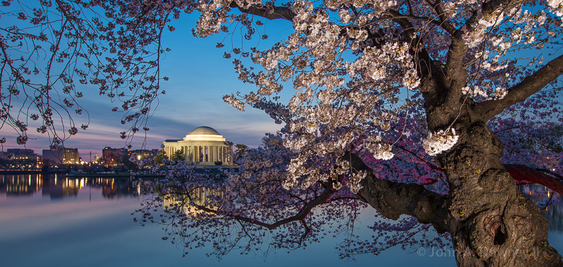 Pre-dawn violet and indigo hues contrast peak cherry blooms lining the Tidal Basin in early April. Washington DC, 2013.