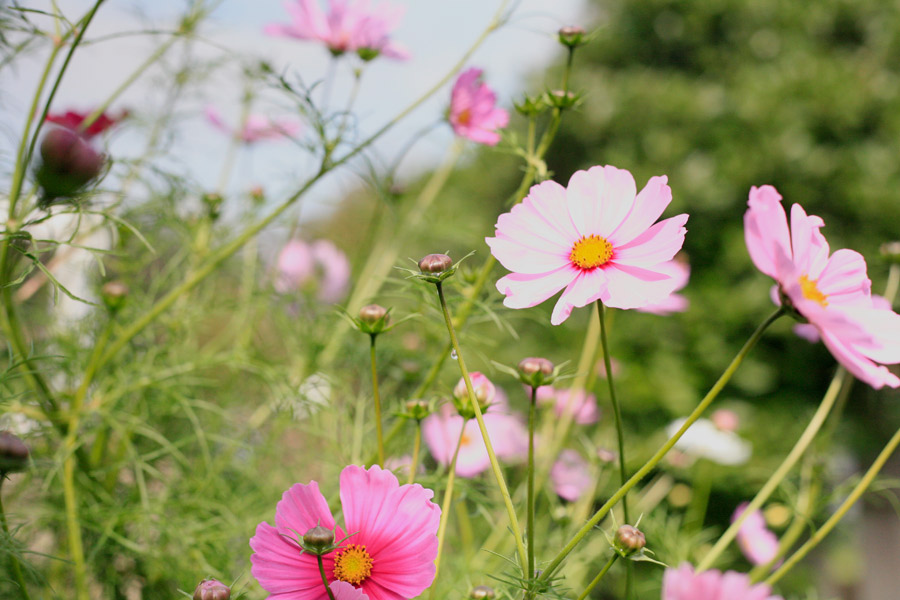 I took this photo of the cosmos because the zinnias next to them are totally snail eaten.