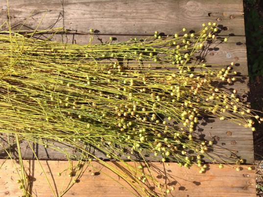 cordwainers-grow-seeds-of-fashion-flax-2-537x402.jpg